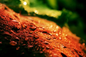 Red grape leaf with drops of rain
